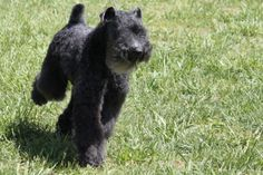 kerry blue terrier photo | KERRY BLUE TERRIER | KERRY BLUE TERRIER