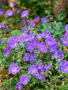 Beauties for the Garden Rozanne perennial geranium. Helps with pest prevention. Deters mosquito and beetles. Helps with pest prevention. Deters mosquito and beetles. Purple Perennials, Best Perennials, Flowers Perennials, Planting Flowers, Part Sun Perennials, Purple Flowering Plants, Perennial Geranium, Hardy Geranium, Gardens