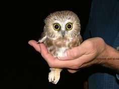 northern saw whet owl | like to base my owl tattoo off this cute lil guy i think