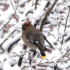 Våknet en morgen av at denne lille karen sang så flott utenfor vinduet  #bird #fugl #instabird #sidensvans #bombycilla_garrulus #spurv #silkehale #bohemian_waxwing #beautiful #norway #i_love_norway #natur #ballangen #northern_norway #nordland #silkestjert