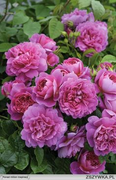 'Princess Anne'