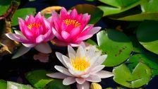 Water lily Nymphaeum leaves Flowers HD Wallpaper
