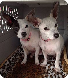 MOTHER AND DAUGHTER --BONDED PAIR--in Nashville, TN - Chihuahua/Jack Russell Terrier Mix. Meet Ellie and Ava a Dog for Adoption.