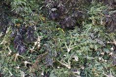 Production backstage   #outdoorgrowth#bio#organic#cbd#sungrown#handcrafted#lowthc#swissmade#swissfarmers#legal#cannabis#weed#switzerland#swiss#swisscbd#hanf#hemp#schweizerhanf#hemp#swisshemp#swisscannabis#holyweed#madeinswitzerland#outdoor#natural#sun#fields#harvesting