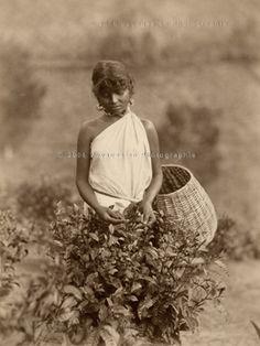 Picking Tea  -  Ceylon, circa 1885 Photographer: Charles Scowen    Kinda funny how she makes it look glamorous....