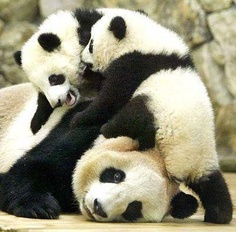 Panda kids and mom.. This looks like our life for sure
