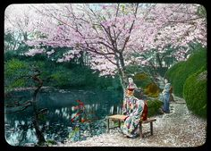 Geisha girls resting under the cherry blossoms in a tea house garden  Enami Studio Lantern Slide No : 400.  About 1920's, Japan