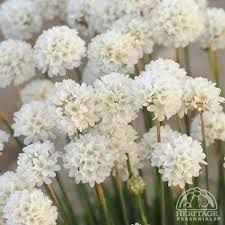 white sea thrift