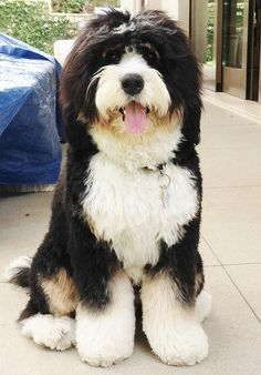 Wonderful Free bernese mountain dogs poodle mix Style More than years, a Bernese Mountain Doggy is a huge building block with plantation existence in Switzer Bernese Mountain Dog Poodle, Mountain Dogs, Cute Dogs And Puppies, I Love Dogs, Doggies, Cute Big Dogs, Corgi Puppies, Bernedoodle Puppy, Goldendoodles