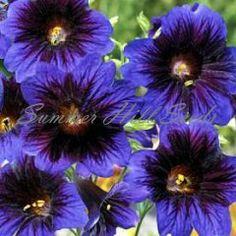 Salpiglossis Kew Blue   full sun, well drained soil, borders or as cut flowers