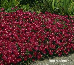 South African Hardy Succulent Ice Plant (Delosperma dyeriii,  cooperi, nubigenum) - Mountain Red. Some like it hot. Like the South African Succulent Hardy Ice Plant. It tolerates heat as well as drought. The attractive evergreen succulent foliage, low spreading stems, and shimmering flowers add color and texture to your garden floor. Thrives with little care. From Roberta's Unique Gardens.