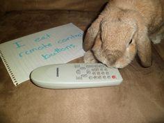 Bunny Shaming, Pet Shaming #meme (I had a hamster who did this!)