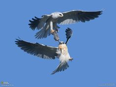 This is an image of a fledgling white-tailed kite reaching for a vole presented by the parent kite in an aerial food transfer.