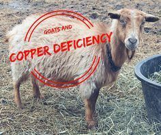 Knowledge of goat nutrition has come a long way. Today, we know that copper deficiency can cause a long list of symptoms, from cosmetic to life threatening.