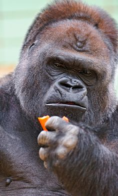Here is the silverback of the gorilla group eating a carrot and looking serious, like gorillas can do it so well! Big Gorilla, Animals Of The World, Animals And Pets, Chimpanzee, Orangutans, Majestic Animals, Animal Sketches, Primates, Tatoo