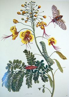 Maria Sibylla Merian April 1647 – 13 January was a German naturalist and scientific illustrator who studied plants and insects and made detailed paintings about them. Her detailed observations and documentation of the metamorphosis of the butterfl Botanical Art, Botanical Illustration, Illustration Art, Book Illustrations, Botanical Gardens, Lobster Art, Art Nouveau, Sibylla Merian, Detailed Paintings
