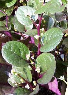 GardenSeed: Red Stem Malabar Spinach