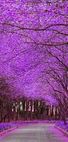 Jacaranda Trees in Bloom...located in Argentina south America these trees are gorgeous | Destinations Planet