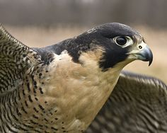 PEREGRINE FALCON Rare Birds, Exotic Birds, Colorful Birds, Owl Bird, Bird Art, All Nature, Amazing Nature, Pretty Birds, Beautiful Birds