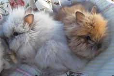 The only thing cuter than lionhead bunnies is nothing.