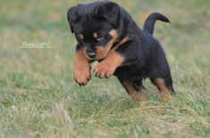 This cute Rottweiler pup looks like a little lion cub