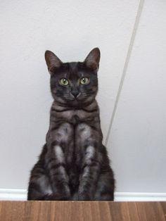 It's my Vince Mau!   Egyptian Mau Cat .. I think my cat TOTALLY looks like an egyptian mau.. but he isn't xD