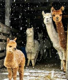Omg❤️❤️❤️❤️ how cute are these? i love these alpacas, or are they lamas? Whatever they look so cute❤️❤️❤️. Repost from… Alpacas, Animals And Pets, Baby Animals, Funny Animals, Cute Animals, Wild Animals, Lama Animal, Cute Alpaca, Baby Alpaca