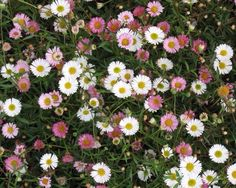 Erigeron K. Profusion. Tiny daisy-like flowers. Good edging plant. Self seeds into other plants beautifully.