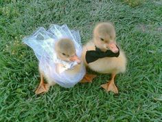 Funny pictures about Baby Ducks Getting Married. Oh, and cool pics about Baby Ducks Getting Married. Also, Baby Ducks Getting Married photos. Cute Baby Animals, Funny Animals, Animal Pictures, Funny Pictures, Duck Pictures, Animals Photos, Funny Pics, Baby Ducks, Pet Ducks