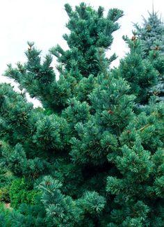 Pinus parviflora 'Blue Angel'.  Dwarf: 5ftx3ft in 10 years.  Klehm's has it.