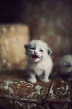 Meow: Kitty Cats Pet Baby Kittens Kitty Kitty Cat S Baby Cats White Kittens Cute Kittens, Cats And Kittens, Animals And Pets, Baby Animals, Funny Animals, Cute Animals, I Love Cats, Crazy Cats, Beautiful Cats