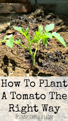 Tomato Plants How To Plant Tomatoes The Right Way. Vegetable gardening tips Home Vegetable Garden, Fruit Garden, Edible Garden, Veggie Gardens, Herbs Garden, Garden Planters, Garden Hose, Growing Tomatoes, Growing Vegetables