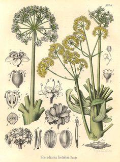 19th century botanical drawing