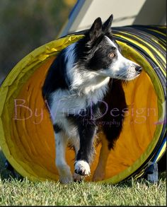 Ready for the next job. Collie Mix, Rough Collie, Show Of Hands, Herding Dogs, Different Dogs, Dog Agility, Cat Paws, Aussies, Border Collies