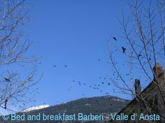 gracchi corallini choughs #aostavalley #alps #vacation #travel