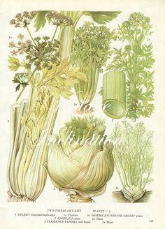 Vintage Gemüse Sellerie Fenchel Küche Dekor Wandbehang botanische Illustration Vintage Kunstdruck 149