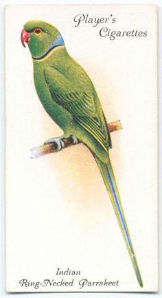 Indian Ring-necked Parrakeet. (ca. 1903-1917)