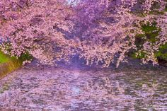 """Filled with cherry blossoms by AOUEI from http://500px.com/photo/203610489 - The waterway filled with cherry blossoms is as beautiful as ever. A very famous castle in Aomori Prefecture of Japan. Hirosaki Castle. Japan 's castle is surrounded by a waterway """"moat"""" surrounding the castle. In peaceful modern times the cherry trees planted along the moat heal the traveler. Cherry blossoms in full bloom that brings beautiful emotions bring a godly respect and gratitude to trees.  """"The  Most…"""