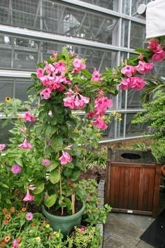 Mandevilla Propagation: How To Propagate Mandevilla From Seeds Or Cuttings