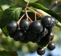 Aronia x prunifolia 'Viking' - Black Chokeberry Summer Pudding, Berry Plants, Eating Raw, Healthy Fruits, Blueberry, Smoothies, Herbalism, Berries, Food And Drink