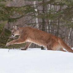 A Profile of the Mountain Lion