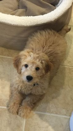 My baby shaggy.... Mini golden doodle ❤️ him ... He's only 3 months old