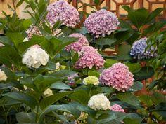 hydrangea - various colours
