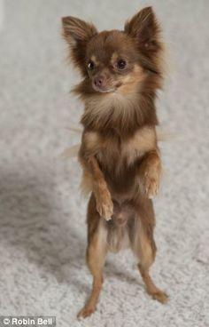 Chihuahua dog, so cute!