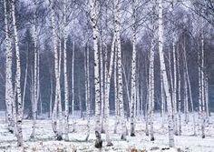 birch trees in winter - Google Search
