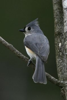 Tufted Titmouse ~ my favorite visitor to my feeder (all three of them)  they are so sweet!