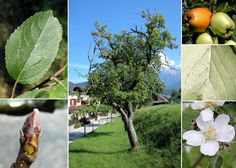Aed-õunapuu.Malus domestica Borkh.
