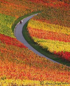Fall colors Vineyards near Heilbronn, Germany in November Lovely Autumn colors by hgviola ♪, via Flickr