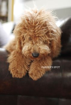 Hurts my heart. Reminds me of my very gentle little boy. Baby Animals, Cute Animals, Doodle Dog, Cute Animal Photos, Therapy Dogs, Dog Photos, Dog Life, Puppy Love, Best Dogs