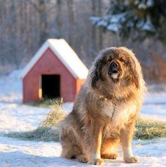 Кавказская овчарка (фото): надежный охранник и верный друг